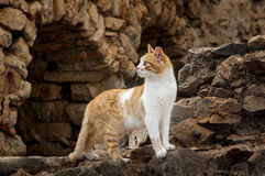 Cat. A white and brown cat looking backwards Royalty Free Stock Photography