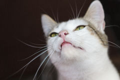 Cat. White Cat closeup over a dark background Royalty Free Stock Photography