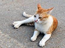 Cat White Cute Smile Sitting in strada del pavimento che gioca fuori Fotografie Stock Libere da Diritti