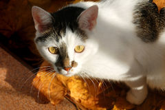 Cat. White cat with dark spots on the background of autumn leaves Royalty Free Stock Photo