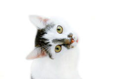 Cat. White cat with dark spots on a white background Royalty Free Stock Images