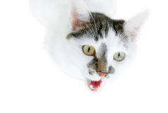 Cat. White cat with dark spots on a white background Royalty Free Stock Photo
