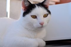 Cat, White, Face, Whiskers Royalty Free Stock Photography
