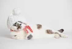 Cat in a white hat with a pompom and scarf. Pretty cat in a white hat with a pompom and striped scarf Stock Images