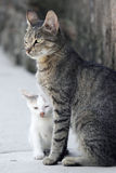 Cat and white kitten. Domestic gray cat and white kitten in the yard Stock Images