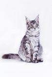 Cat on white, kitten, cute, fluffy ball Royalty Free Stock Photos