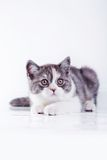 Cat on white, kitten, cute, fluffy ball Royalty Free Stock Photo