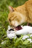 Cat with White Pigeon Royalty Free Stock Photography