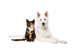 Cat and white puppy Royalty Free Stock Images