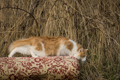 The he-cat. Royalty Free Stock Image