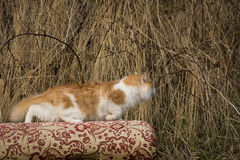 The he-cat. The white-red fluffy cat looks somewhere Stock Photo
