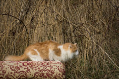 The he-cat. The white-red fluffy cat looks somewhere Royalty Free Stock Photos