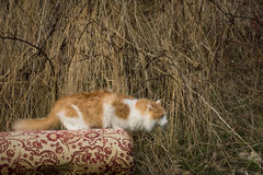 The he-cat. The white-red fluffy cat looks somewhere Royalty Free Stock Images
