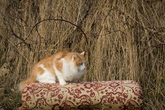 The he-cat. The white-red fluffy cat looks somewhere Royalty Free Stock Photo