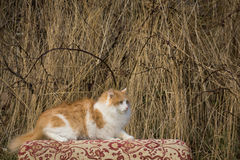 The he-cat. The white-red fluffy cat looks somewhere Royalty Free Stock Image