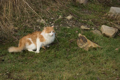The he-cat. The white-red fluffy cat looks somewhere Stock Photography