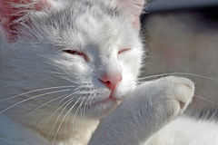 Cat. White cat staring at you Stock Photography