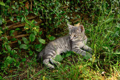 Cat with white-tabby fur lays and rests in the garden on grass. Horizontal photo of adult cat with white-tabby fur who lays and rests in the garden on grass Royalty Free Stock Images