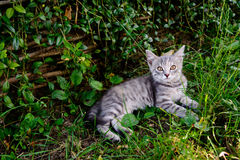 Cat with white-tabby fur lays and rests in the garden on grass. Horizontal photo of adult cat with white-tabby fur who lays and rests in the garden on grass Royalty Free Stock Photo