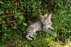 Cat with white-tabby fur lays and rests in the garden on grass. Horizontal photo of adult cat with white-tabby fur who lays and rests in the garden on grass Royalty Free Stock Photos