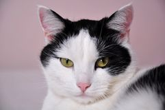 Cat, White, Whiskers, Small To Medium Sized Cats Stock Image