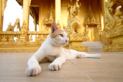 Cat. White and yellow cat sleep in golden temple stock photography