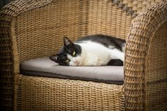 The cat and wicker armchair Stock Images