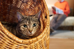Cat in wicker basket. Domesticated cat resting in a handmade wicker basket while his owner reads stock image