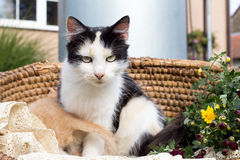 Cat in a wicker basket Royalty Free Stock Photography