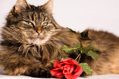 Cat wiiyh valentine rose Stock Photo