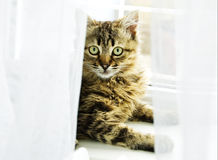 Cat at the window. Behind the curtain Royalty Free Stock Photos