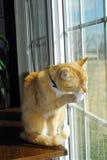 Cat at window royalty free stock photos