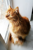 Cat on a window. Ginger cat is sitting on a window and looking inquisitively outside in winter Stock Image