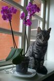 Cat at Window. Cat ,Pussycat , Flowers, home, beautiful, nice ,looking, pretty stock photography