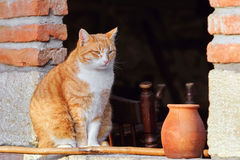 Cat in Window. Cat Sits in the Window near the Jug with Milk Royalty Free Stock Image
