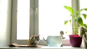 Cat at  window stock footage