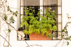 Cat in a window in Spain. This photo shows a cat sitting in a window next to some flowers in Spain Royalty Free Stock Image