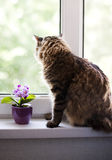 Cat at the window. Tabby cat looking through the window Royalty Free Stock Image