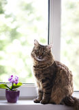 Cat at the window. Tabby cat at the window looking at the camera royalty free stock photography