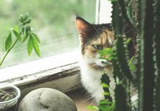 Cat on windowsill, hemp plant and cactus royalty free stock photography