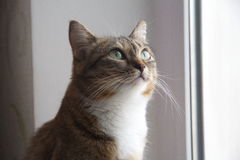 CAT. On the windowsill,Staring at the ceiling Royalty Free Stock Images