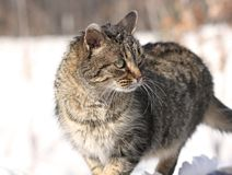 Cat during winter. Tabby cat in nature during winter Royalty Free Stock Images
