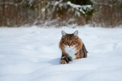 Cat in the winter Royalty Free Stock Image