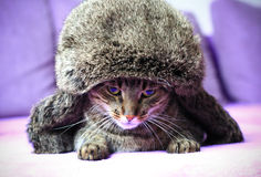 Cat in a winter hat royalty free stock photo