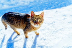 Cat in winter landscape. Eye contact and white background. Stock Photography