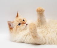 Cat With Blue Eyes. Royalty Free Stock Photography