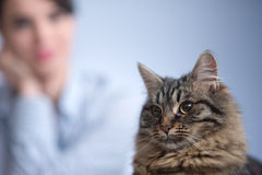 Cat and woman. Beautiful long hair cat with woman on the background Stock Photography