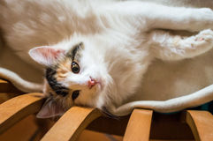A cat on a wooden chair Stock Image