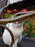 A cat on a wooden chair. A gentle and sleepy cat on a wooden chair stock photo