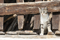 Cat between the wooden fence Royalty Free Stock Images